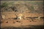 Roos at Water Hole